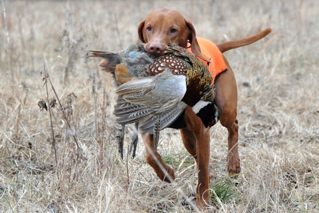 Duck Hunting Dog Training Schools
